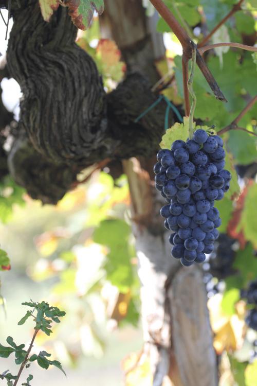 grappolo-uva-bellosguardo-wines